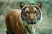 Tiger (Panthera tigris) Photo: Sascha Kohlmann CC BY-SA 2.0
