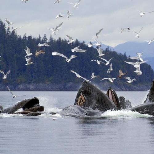 Bubble net lunge feeding by humpback whales, Alaska. Photo: J.Hyde Wild Things Photography.