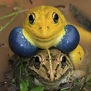 When Love is in the Air, courtship behaviour of Indian Bull Frogs in Dhaka, Bangladesh. Photo © Fahim Hassan