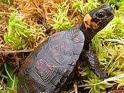 The Critically Endangered Bog Turtle (Glyptemys muhlenbergii) was one of 36 species modeled to assess warning times for species extinctions under climate change Photo: Jonathan Mays