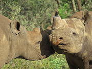 Dehorned Black Rhinos in South Africa. Photo: © Richard Emslie