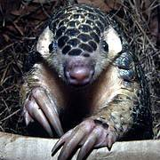 Chinese Pangolin (Manis pentadactyla). Photo: Gary Ades