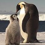 Emperor Penguin feeding chick Photo: Ty Hurley