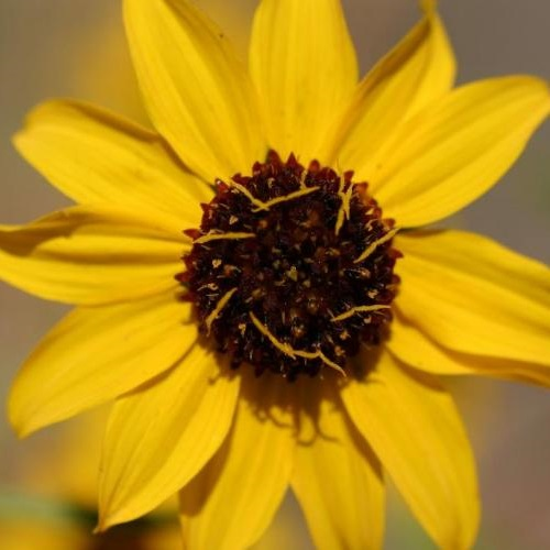 Serpentine sunflower (Helianthus exilis). Photo: © David A. Hofmann