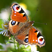 Peacock butterfly Photo: William Warby/Flickr