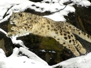 Snow Leopard Leo Photo: Julie Larsen Maher © Wildlife Conservation Society