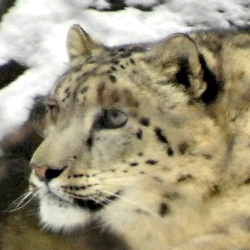 Snow Leopard Leo Photo: Julie Larsen Maher © Wildlife Conservation Society