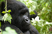 Mountain gorilla, Virunga National Park, World Heritage site Photo: IUCN Photo Library © G.Collin