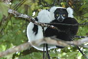 Young black and white ruffed lemur (Varecia variegata editorum) Photo: Russ Mittermeier