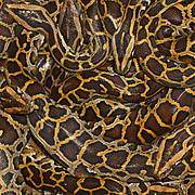 Python skins are traded primarily to meet demands from the fashion industry Photo: Daniel Natusch / IUCN