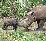 Andatu; the first Sumatran Rhino born in captivity in Indonesia. Photo: International Rhino Foundation / S.Ellis