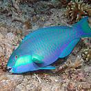 Bleeker's Parrotfish (Chlorurus bleekeri) Photo: Robert Myers