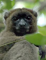 Greater Bamboo Lemur (Prolemur simus) Photo: Russell A Mittermeier