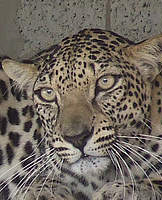 Arabian Leopard (Panthera pardus nimr) 2008 IUCN Red List Status: Critically Endangered. Photo © Breeding Centre for Endangered Arabian Wildlife, Sharjah.