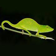 Tarzan's Chameleon (Calumma tarzan) Photo: Jörn Köhler