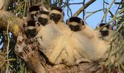 Lemurs in tree. Photo: © Russell A. Mittermeier.