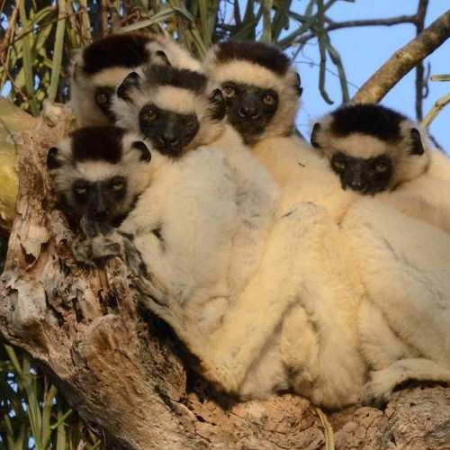 Lemurs in tree. Photo: © Russell A. Mittermeier.