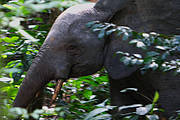 Forest elephants of Dja Conservation Area under threat from poaching Photo: Garth Cripps