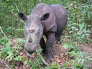 Diceros sumatrensis Photo: Save the Rhino International