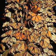 Monarch Butterflies (Danaus plexippus) Photo: Jack Dykinga