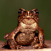 Adenomus kandianus (Photo: L. J. Mendis Wickramasinghe)