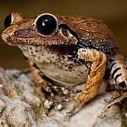 Macaya Burrowing Frog, Eleutherodactylus parapelates. Critically Endangered Photo: Robin Moore iLCP
