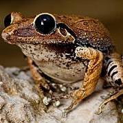 Macaya Burrowing Frog, Eleutherodactylus parapelates. Critically Endangered Photo: Robin Moore iLCP