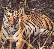 Tiger at Chitwan National Park, Nepal Photo: IUCN Nepal