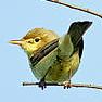 Melodious Warbler (Hippolais polyglotta) Photo: Peter Harris
