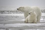 Polar Bear (Ursus maritimus) - Vulnerable Photo: Alan D. Wilson (CC BY-SA 3.0)