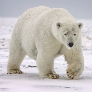 Polar Bear (Ursus maritimus) - Vulnerable Photo: Alan D. Wilson (CC BY-SA 3.0)