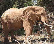 African Elephant (Loxodonta africana). Photo: Jean-Christophe Vié