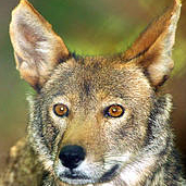 Red Wolf (Canis rufus) Photo: Kim Wheeler, Red Wolf Coalition
