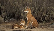 Ethiopian wolf (Canis simensis), listed as Endangered on the IUCN Red List. Photo: © Andrew Harrington.