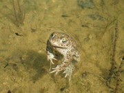 Natterjack Toad (Epidalea calamita), listed as Endangered on the Irish Red List. Photo © Dominic Berridge, NPWS