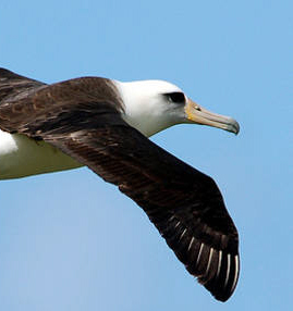 Laysan Albatross Phoebastria immutabilis has been added to Annex 1 of ACAP. Photo © Matt Knoth / Flickr.