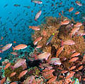 Healthy coral reef in the Philippine's Verde Island Passage. Photo © Sterling Zumbrunn/Conservation International.