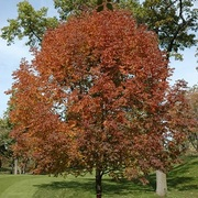 Fraxinus americana. Kris Bachtell/The Morton Arbore