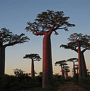 Madagascar baobabs Photo: http://www.flickr.com/photos/dmontesi/66753981/