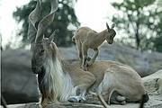 Male markhor and kid © Grahm Jones/Columbus Zoo. Photo: Grahm Jones
