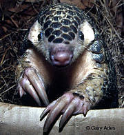 Chinese Pangolin (Manis pentadactyla) Photo: Gary Ades