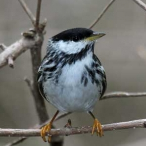 On average, Blackpoll Warblers fly non-stop for 2540 km over the Atlantic Ocean (Melanie; creative commons. flickr.com)