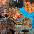 The Small Red Scorpionfish (Scorpaena notata) on Mediterranean coralligenous assemblage (Photo © Andrea Molinari)