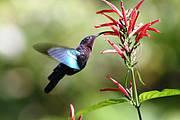 Purple-throated Carib Photo: Charles Sharp