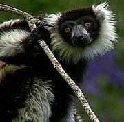 Black and white ruffed lemur (Varecia variegata). Photo: The Dancing Star Foundation