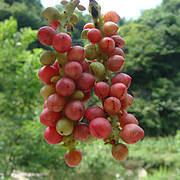 Schisandra fruit is sustainably harvested by the project (Photo: TRAFFIC)
