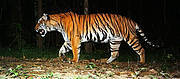 Tiger photographed by camera-trap in Thailand Photo: Wildlife Conservation Society