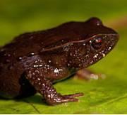Chocó harlequin toad (photo © Robin Moore)