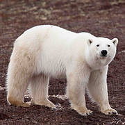 Polar Bear (Ursus maritimus). Photo: James Watson