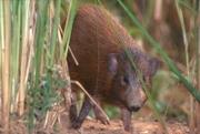 Pygmy Hog (Porcula salvania). Photo © Roland Seitre